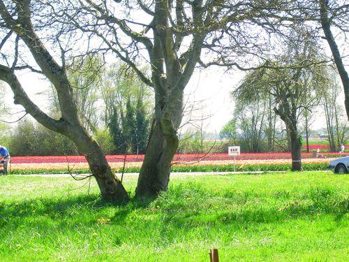 2009-4-21 tree and tulips_edited-1