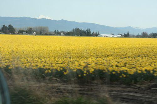 Daffodils 2010