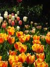 2006_tulip_1