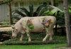 Houston_cow
