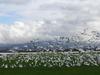 Snow_geese_2005_1_2